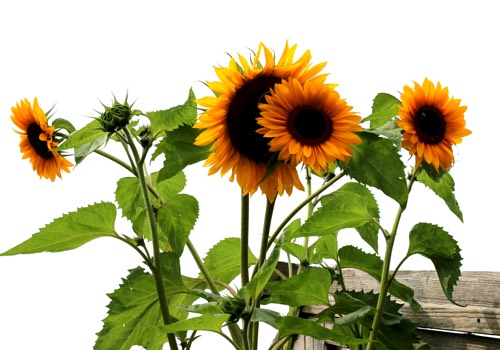 Zonnebloem van de Makkelijke Moestuin: meerdere bloemen aan één stengel