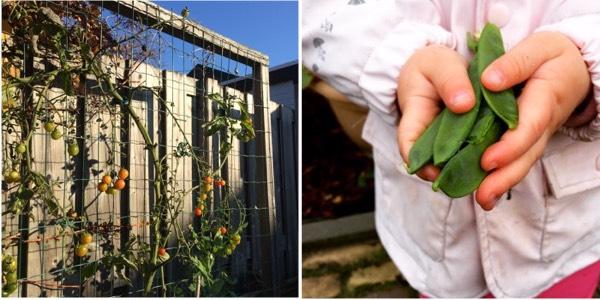 Tomaten en peultjes, tot in november