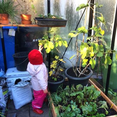 Vijgenplanten in de kas