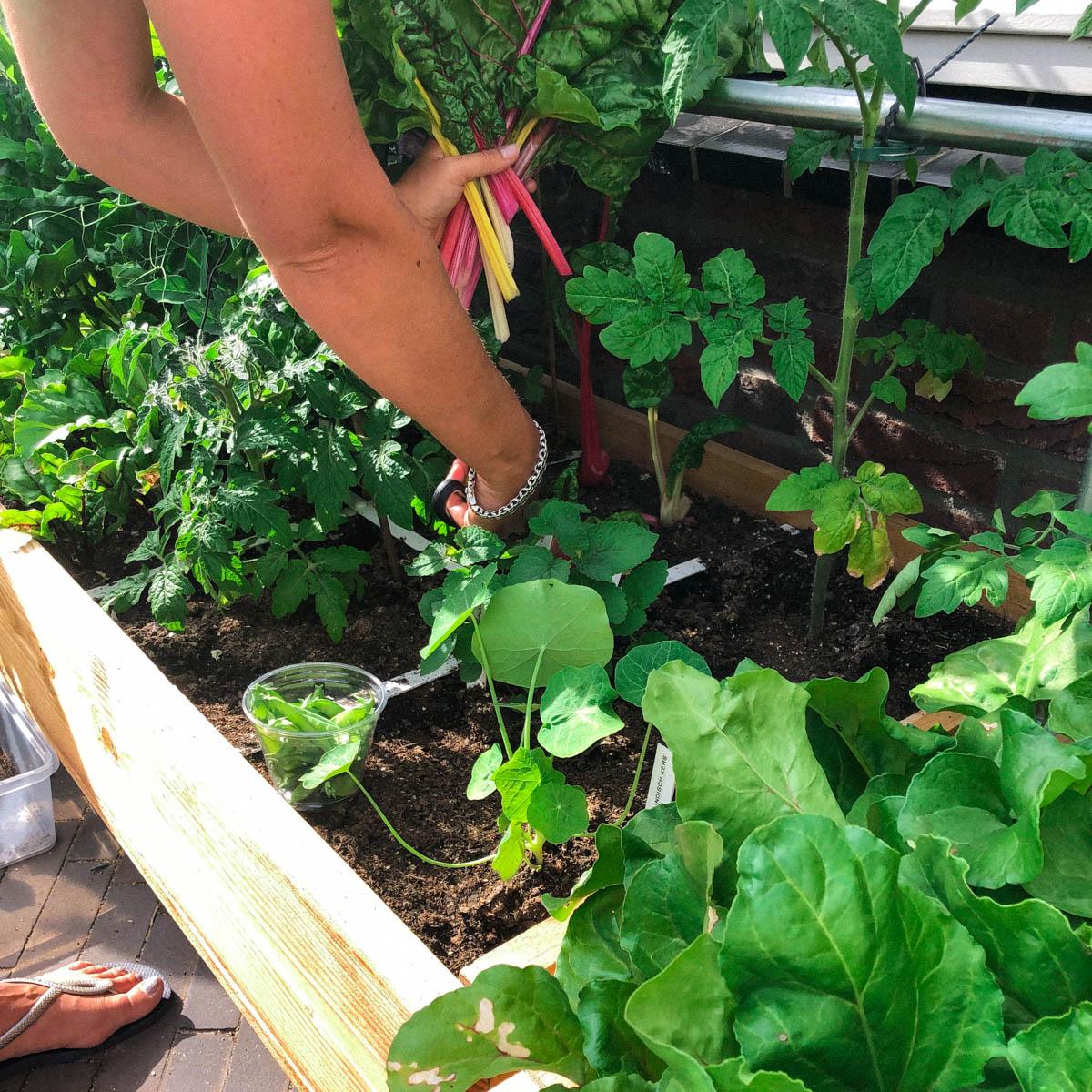 Mannonie aan het oogsten in de Makkelijke Moestuin