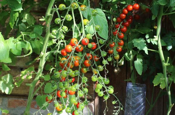 Twee van de tig tomatenplanten in onze kas