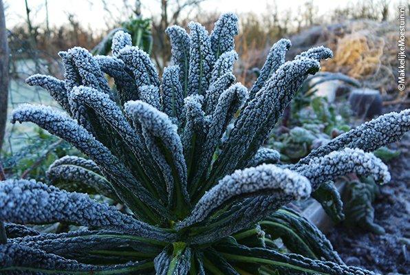 Palmkool in de winter