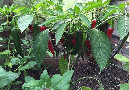 gekochte peperplant