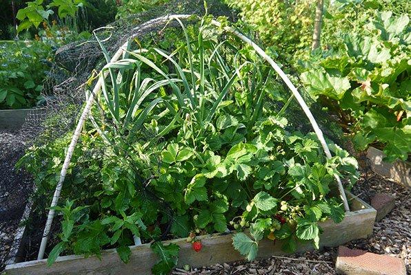 Grote knoflookplanten tussen de aardbeien