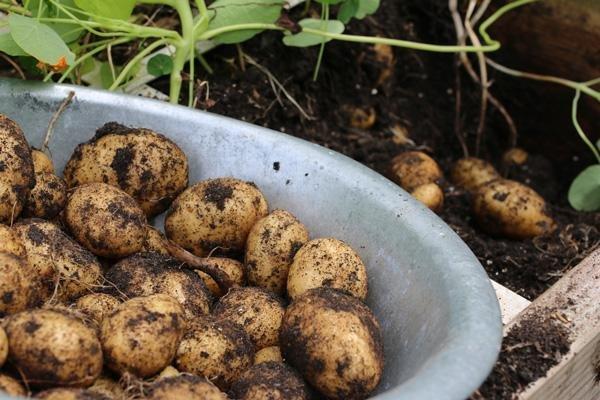 Aardappels uit een moestuinbak