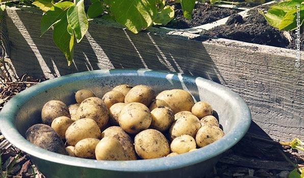 Gemiddeld 1,5 kilo aardappels per vak
