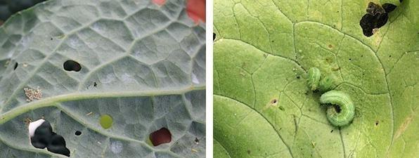 links: eitjes aan de onderkant van het blad - rechts: al flink uitgegroeide rupsen