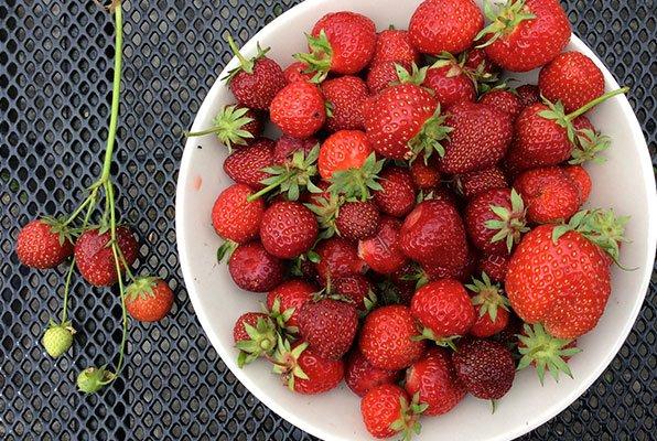 Grote en kleine aardbeien