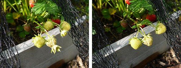 Vruchten en bloemen uitdunnen tot 3 per stengel