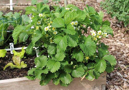 volwassen aardbeienplant derde jaar