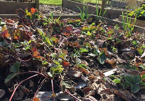 Verwaarloosde aardbeienbak in het voorjaar