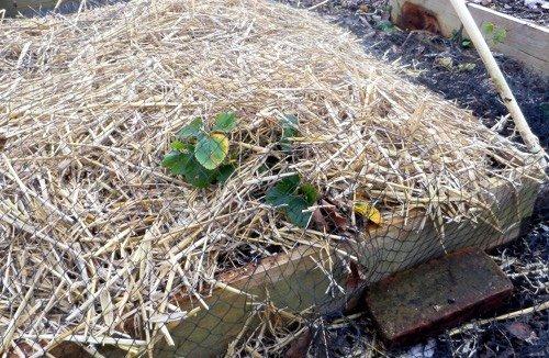 Het stro bedekt de plantjes