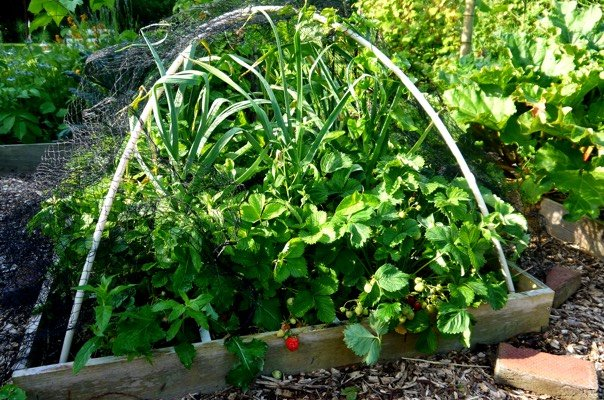 Stevige aardbeien en grote knoflookplanten - en onkruid ;-)