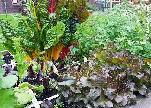 Bladgroentes: snijbiet, sla, bietenblad, rucola, wortelgroen