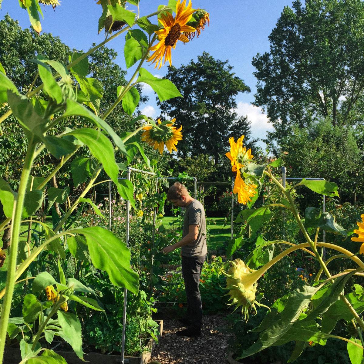 Makkelijke Moestuin vol zonnebloemen