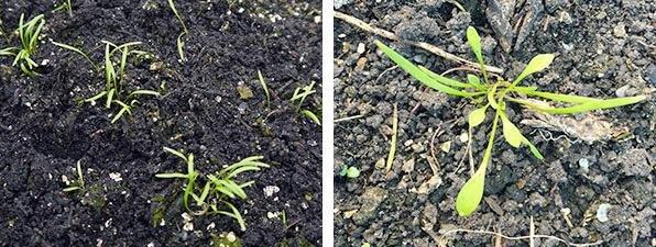 zaailingen na 12 dagen (links) en na 3 weken (rechts)