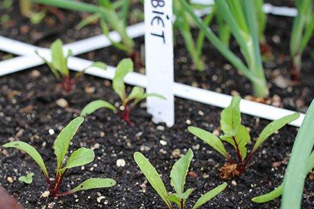 Kleine bietenplantjes