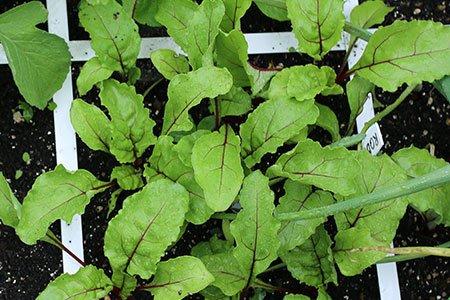 Bietenplantjes waar je blad van kan oogsten