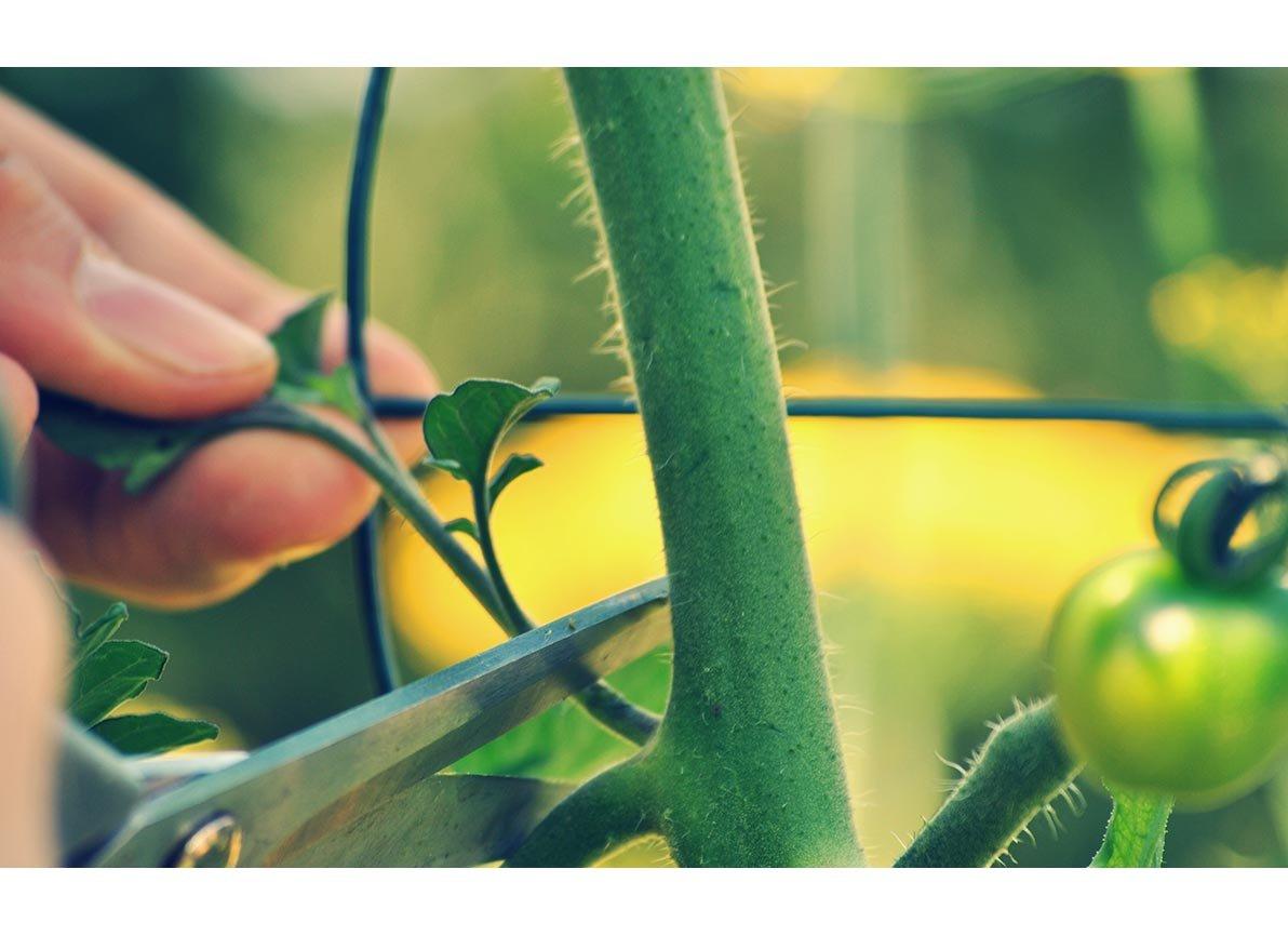 Hoe je tomaten moet dieven laat de Makkelijke Moestuin app je zien