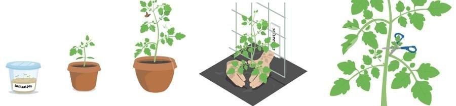 Stadia tomaat in Makkelijke Moestuin app