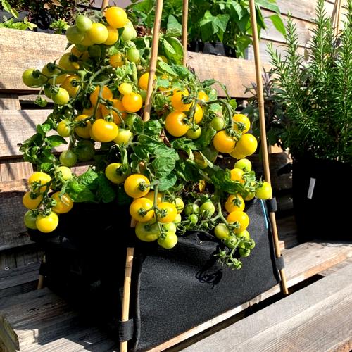 Struiktomaat geeft in de volle zon meer en lekkerder tomaten