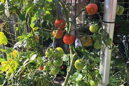 Suikerzoete tomaatjes: gekweekt uit een vers tomaatje