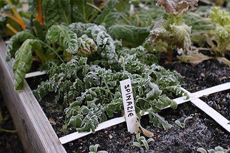 Bevroren spinazie, rucola en snijbiet