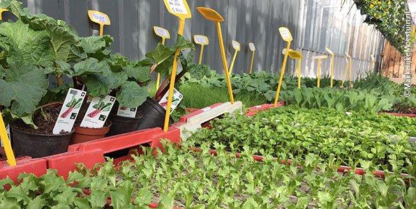 Kleine groenteplantjes in het tuincentrum