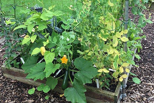 De peultjesplanten worden geel