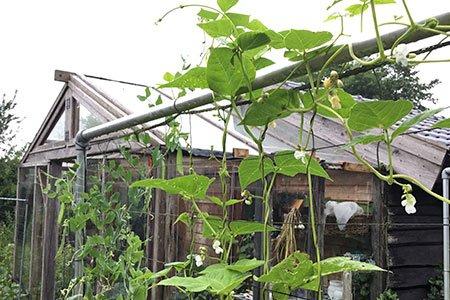De stokbonen groeien boven het klimrek uit