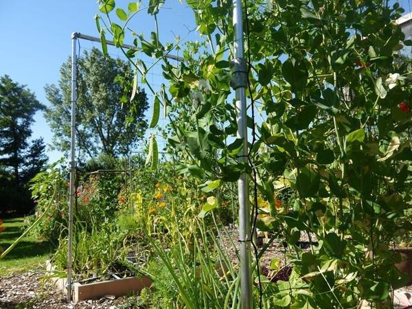 Stevig klimrek voor hoge groentes in de Makkelijke Moestuin