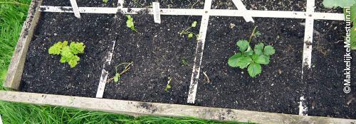 Aardbeienplantje