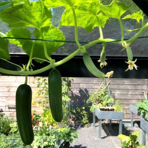 Bij veel komkommers aan een plant worden er een aantal niet rijp