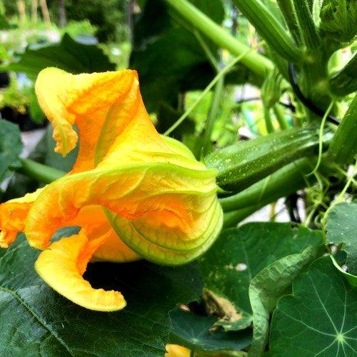 Vrouwelijke bloem van de courgette