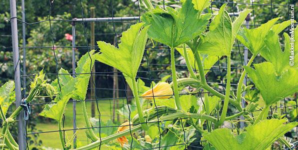 Courgettes in wording