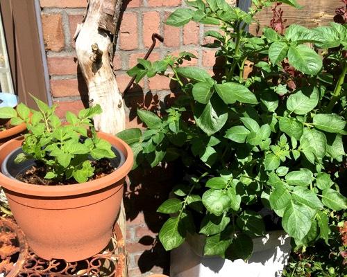 Tomaten: links in Deka potgrond, rechts in Makkelijke Moestuinmix