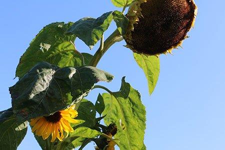 Uitgebloeide zonnebloem krijgt nieuwe bloemen