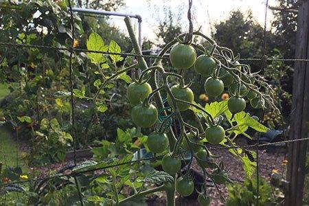 Tomaten toppen: net boven de laatste tros tomaten