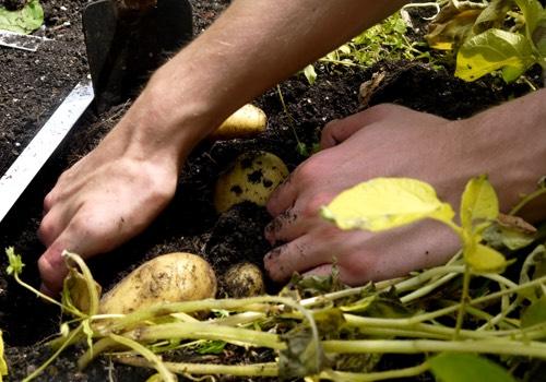 Aardappels oogst je pas als de planten geel zijn