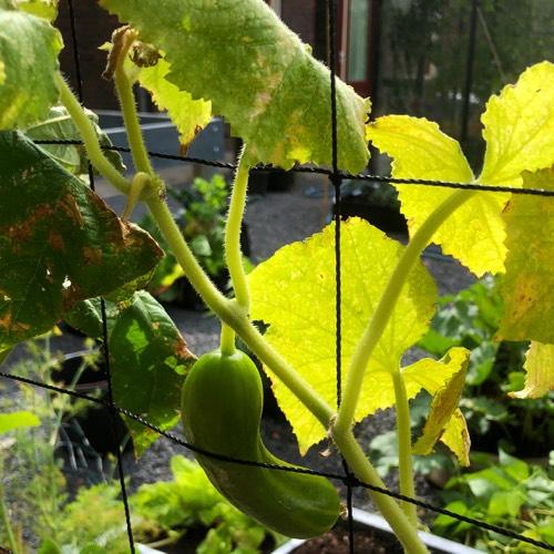 Komkommerplant waar de top van verdroogt