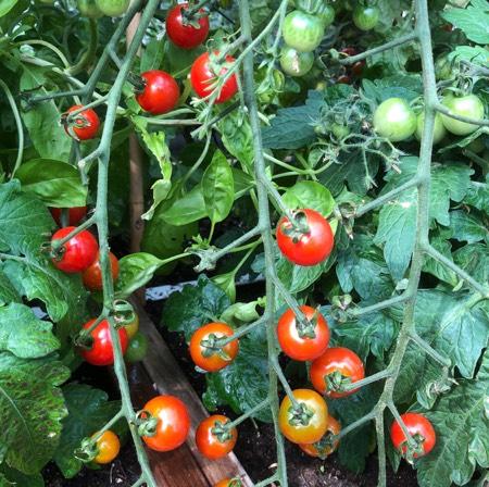 Tomaatjes die in de zon rijpen zijn lekkerder dan die uit de schaduw