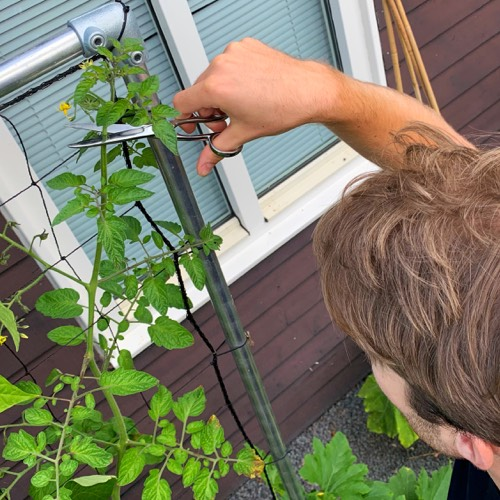 Top je tomaten in augustus om het rijpen te stimuleren