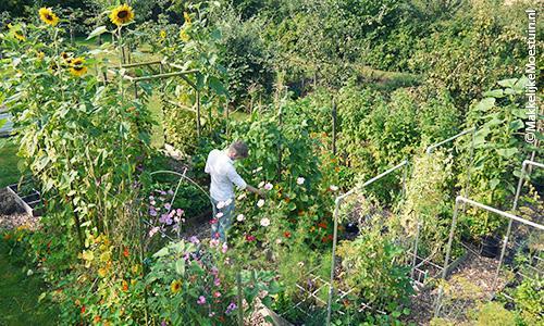 Begin augustus: mega oogst aan boontjes