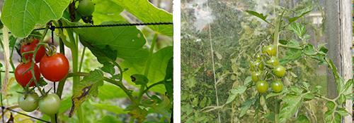 Tomaten in september: honingzoet en hopen dat ze nog rijpen!