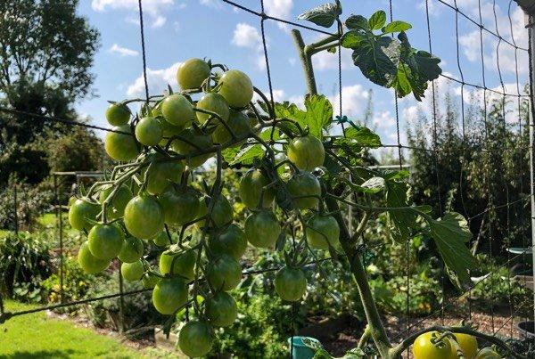 Toppen van tomatenplanten in september
