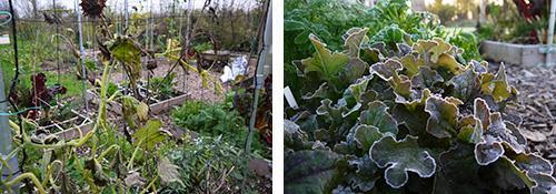 Na de eerste flinke nachtvorst: links courgetteplant, rechts rode pluksla