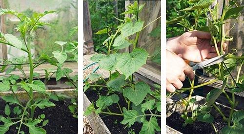 Dieven en uitlopers bij tomaten en komkommers