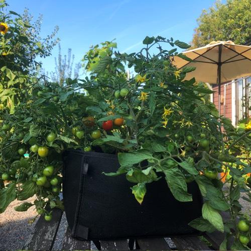 Deze tomaat dijt behoorlijk uit: ideaal voor in een Makkelijke Moestuinmini