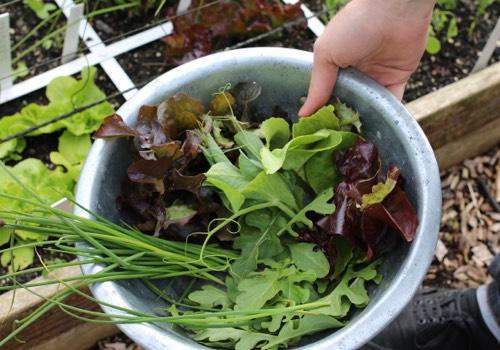 Plukken voor salade uit eigen Makkelijke Moestuin