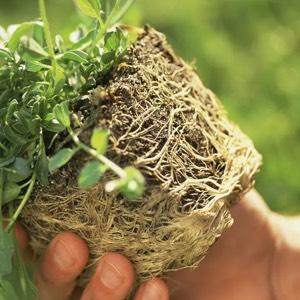 Een potplant met veel te veel wortels verstikt zichzelf op den duur